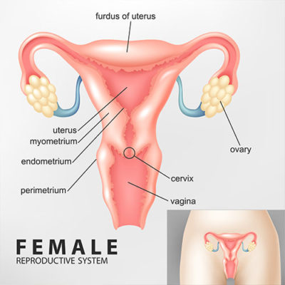 Hysterectomy - Anatomy of Female Uterus - Urogynecology Clinic, Chennai